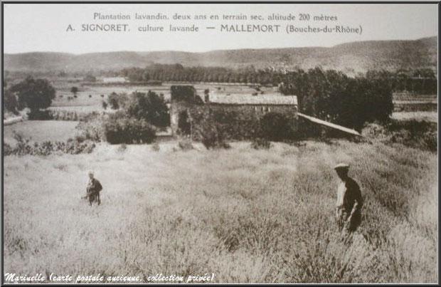 Champ de lavandin à Mallemort (carte postale ancienne, collection privée)