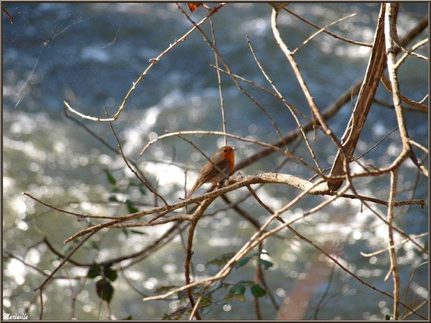 Rouge-Gorge dans un arbre en bordure du Canal des Landes au Parc de la Chêneraie à Gujan-Mestras (Bassin d'Arcachon)