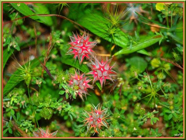 Trèfle étoilé (trifolium stellatum) en campagne à Saint Rémy de Provence, Alpilles (13)