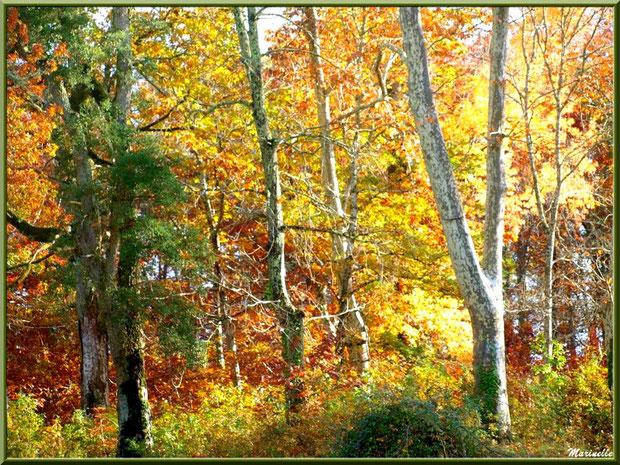 Sous-bois en période automnale (seuls les Chênes Liège concervent leur feuillage vert), forêt sur le Bassin d'Arcachon (33)