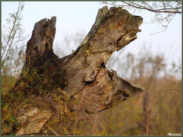 Tronc mort de chêne au coeur des tamaris et roseaux, Sentier du Littoral, secteur Port du Teich en longeant La Leyre, Le Teich, Bassin d'Arcachon (33)