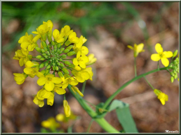 Barbarée ou Herbe de Sainte-Barbe, Cresson de Terre ou Roquette des marais ou Herbe aux Charpentiers, flore sur le Bassin d'Arcachon (33)