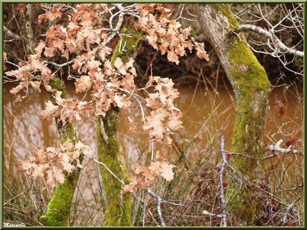 Végétation hivernale en bordure d'un ruisseau sur le sentier, Sentier du Littoral secteur Pont Neuf, Le Teich, Bassin d'Arcachon (33)