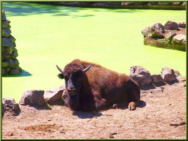 Bison, Zoo du Bassin d'Arcachon, La Teste de Buch (33)