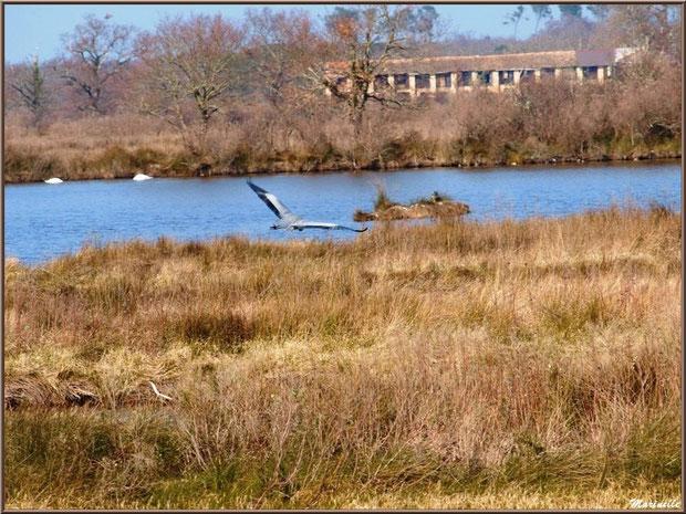 Héron en vol entre marais et réservoir avec couple de cygnes, Sentier du Littoral, secteur Domaine de Certes et Graveyron, Bassin d'Arcachon (33)