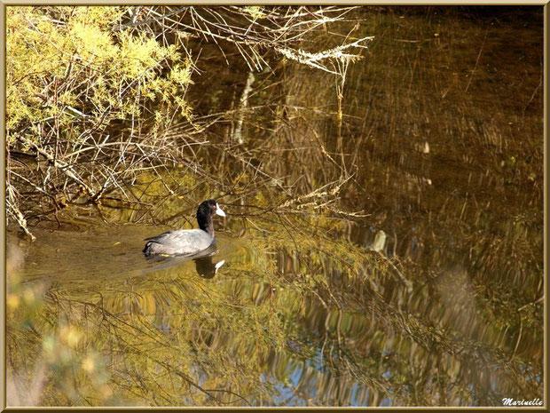 Foulque et reflets dans un réservoir sur le Sentier du Littoral côté Bassin, secteur Moulin de Cantarrane, Bassin d'Arcachon