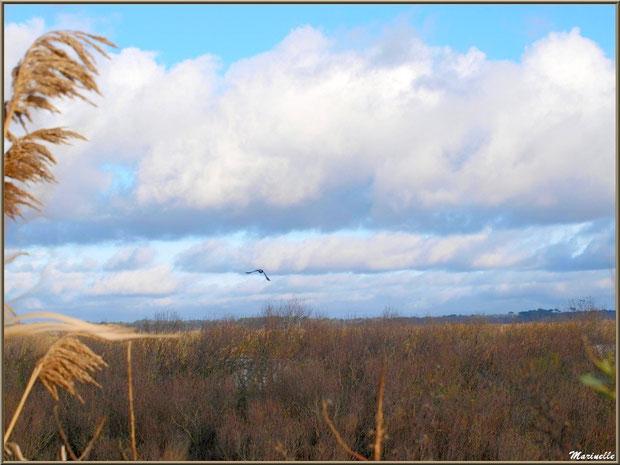 Cormoran en vol au-dessus des marécages sur le Sentier du Littoral, secteur Moulin de Cantarrane, Bassin d'Arcachon