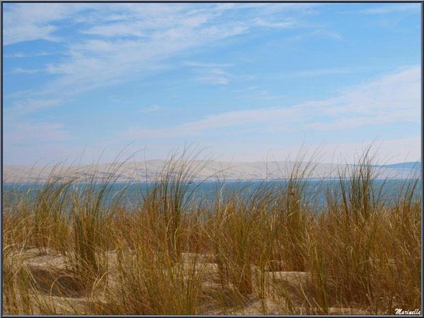 Oyats sur une dunette, en bordure de plage, au Cap-Ferret (à l'horizon, la Dune du Pyla), flore Bassin d'Arcachon (33)