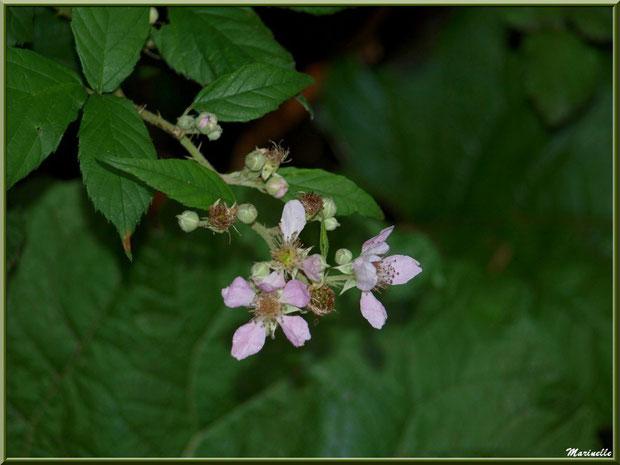 Roncier en fleurs, flore Bassin d'Arcachon (33)