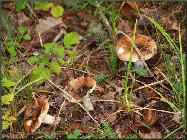 Russules en forêt sur le Bassin d'Arcachon