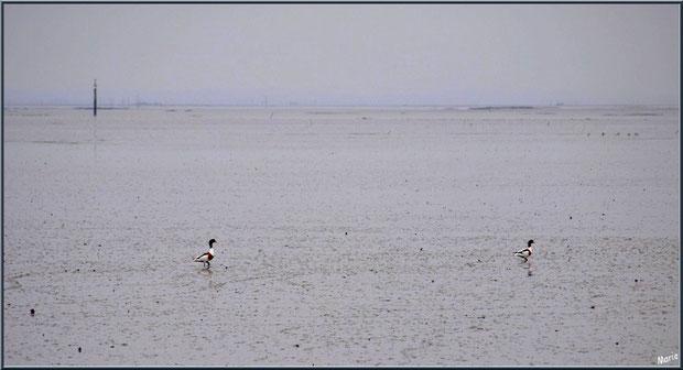 Canards Tardonne de Belon en duo, à marée basse, en bordure du Bassin en bordure du Sentier du Littoral, secteur Moulin de Cantarrane, Bassin d'Arcachon