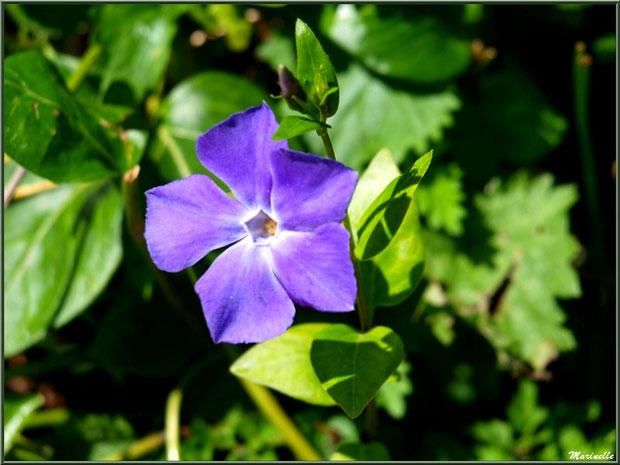 Pervenche en fleurs à la Pisciculture des Sources à Laruns, Vallée d'Ossau (64)