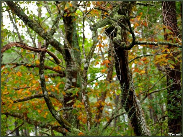 Méli mélo forestier : végétation diverse automnale en sous bois, forêt sur le Bassin d'Arcachon (33)