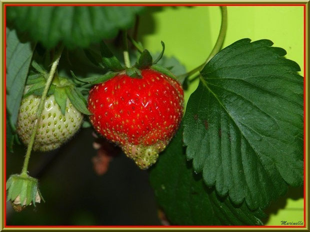Les bonnes fraises du jardin