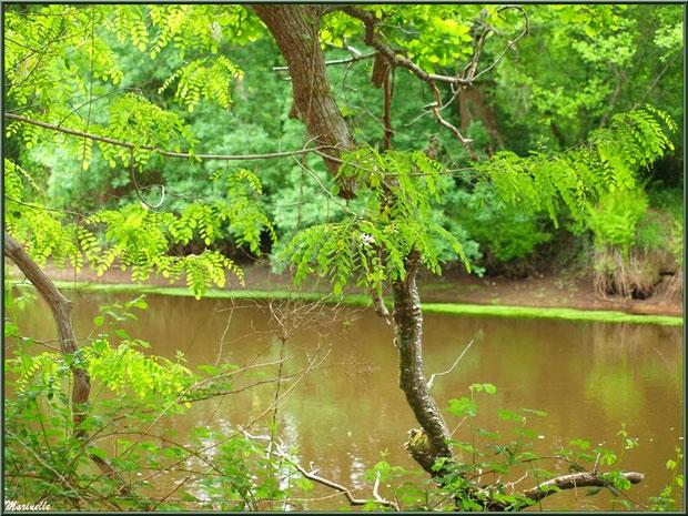 Acacia en fleurs et reflets en bordure de La Leyre, Sentier du Littoral au lieu-dit Lamothe, Le Teich, Bassin d'Arcachon (33)