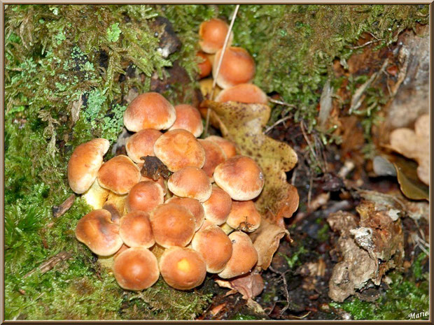 Hypholomes en Touffe au creux d'un tronc moussu en forêt sur le Bassin d'Arcachon