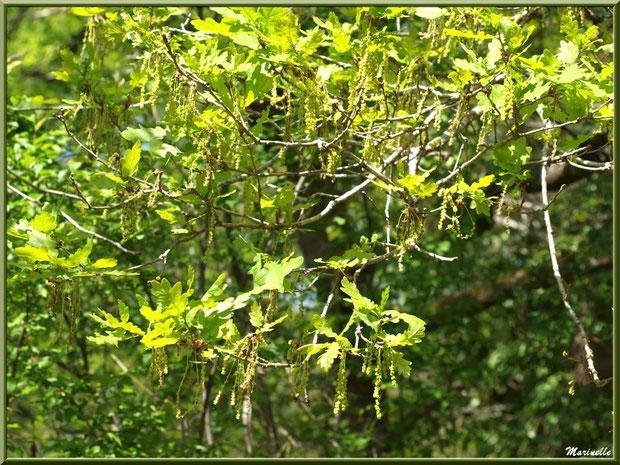 Chêne Pédonculé et ses fleurs mâles, flore Bassin d'Arcachon (33)