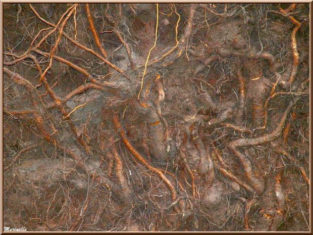 Racines chevelues d'un pin déraciné après une tempête, forêt sur le Bassin d'Arcachon (33)