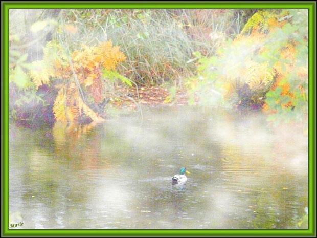 Canard Colvert dans la brume au fil du Canal des Landes automnal au Parc de la Chêneraie à Gujan-Mestras (Bassin d'Arcachon)