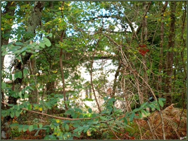 Au coeur de la forêt, l'église St Michel du Vieux Lugo à Lugos (Gironde) est nichée