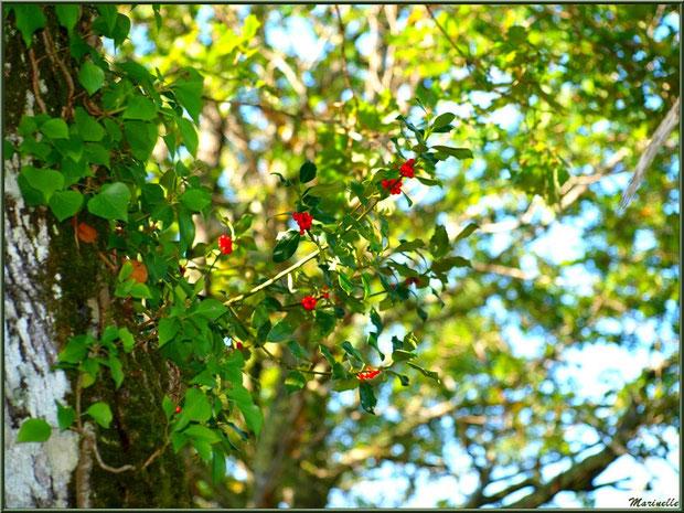 Houx fleuri et chêne automnal enrobé de lierre, forêt sur le Bassin d'Arcachon (33)