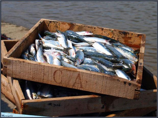 """Cagettes de sardines empilées sur un """"brout"""" après déchargedment - Fête du Retour de la Pêche à la Sardine 2014 à Gujan-Mestras, Bassin d'Arcachon (33)"""