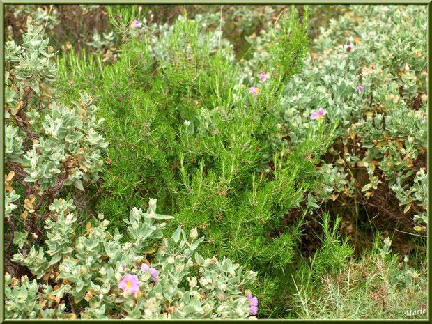 Cistes en fleurs et romarin dans la garrigue des Alpilles (Bouche du Rhône)