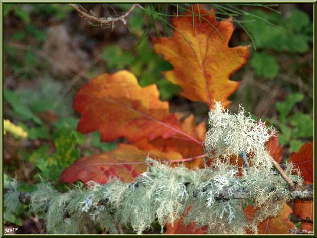Mousse des Chênes ou Evernia Prunastri sur fond de feuilles de chêne automnales en forêt sur le Bassin d'Arcachon
