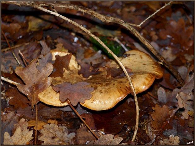 Lactaire Velouté caché sous feuilles de chêne en forêt sur le Bassin d'Arcachon