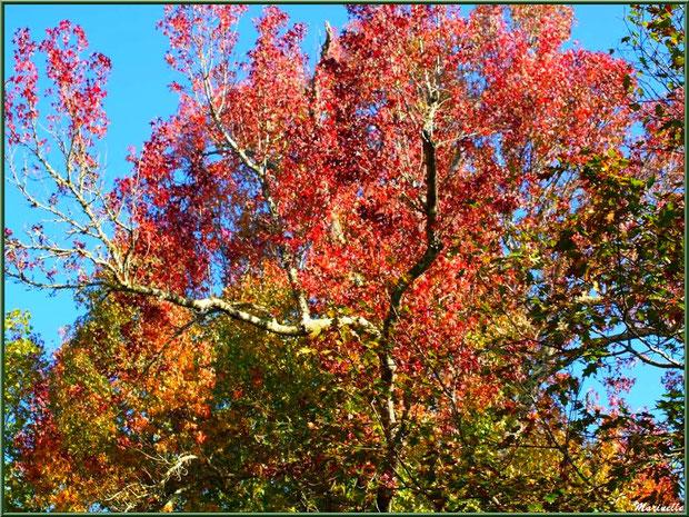Chênes et Liquidambar (ou Copalme d'Amérique) aux couleurs automnales, forêt sur le Bassin d'Arcachon (33)