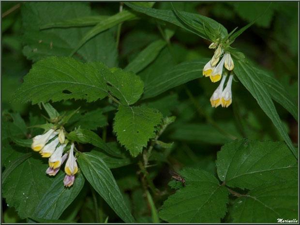 Mélampyre des Prés ou Millet des Bois ou Cochelet ou Sarriette Jaune, flore sur le Bassin d'Arcachon (33)