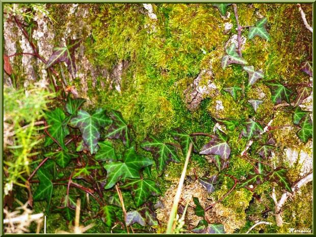 Lierre automnal sur tronc moussu, forêt sur le Bassin d'Arcachon (33)
