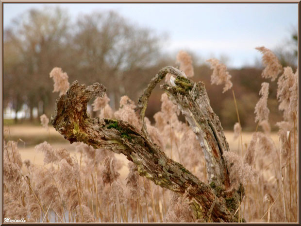 Branches mortes de chêne au coeur des roseaux, Sentier du Littoral, secteur Port du Teich en longeant La Leyre, Le Teich, Bassin d'Arcachon (33)