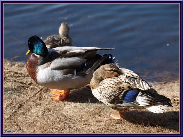 Canards au bord du bassin au Parc de la Chêneraie à Gujan-Mestras (Bassin d'Arcachon)