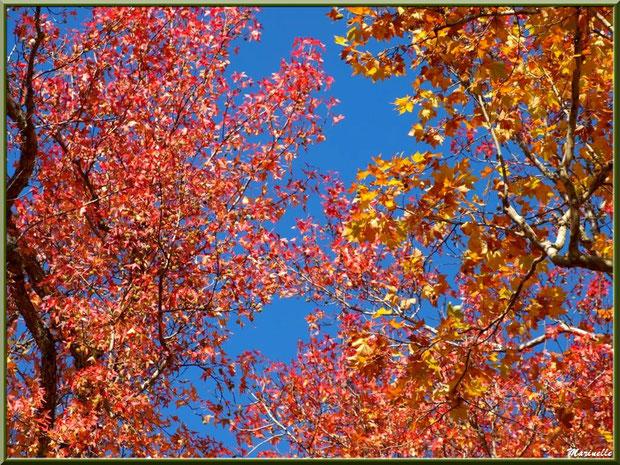 Chênes et Liquidambars (ou Copalmes d'Amérique) aux couleurs automnales, forêt sur le Bassin d'Arcachon (33)