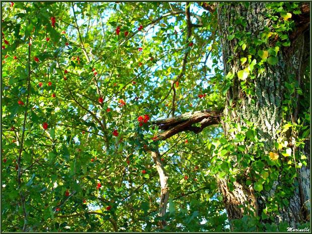 Arbre de houx fleuri et chêne enrobé de lierre, forêt sur le Bassin d'Arcachon (33)