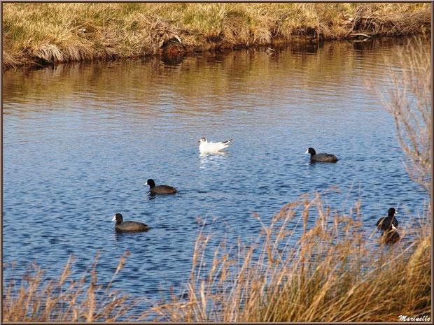 Foulques et mouette au fil de l'eau dans un réservoir, Sentier du Littoral, secteur Domaine de Certes et Graveyron, Bassin d'Arcachon (33)