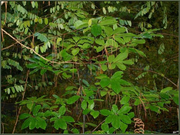 Marronnier, acacia et aiguilles de pin au Parc de la Chêneraie à Gujan-Mest