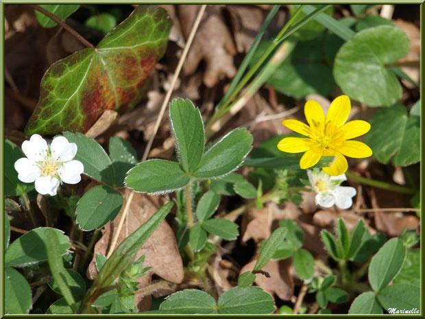 Duo de fleurs : fraisier sauvage et bouton d'or, flore sur le Bassin d'Arcachon (33)