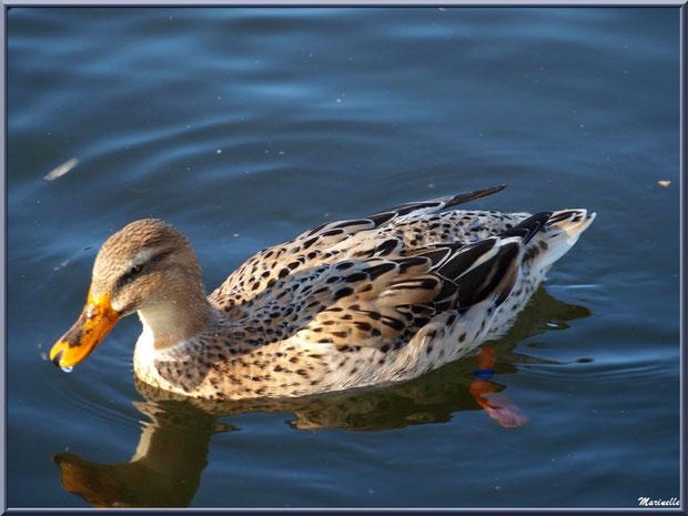Madame canard dans le bassin d'entrée au Parc de la Chêneraie à Gujan-Mestras (Bassin d'Arcachon)