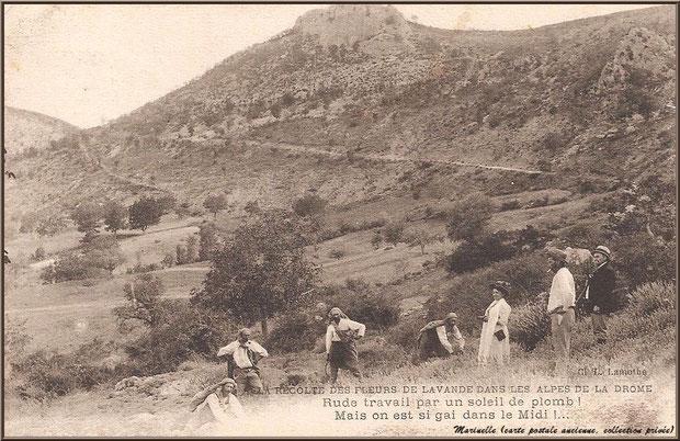 Récolte de la lavande dans la Drôme Provençale (carte postale ancienne, collection privée)