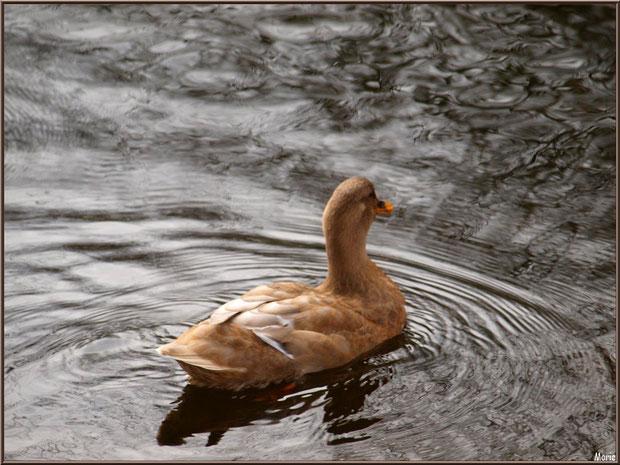 Jeune canard dans le bassin à l'entrée du Parc de la Chêneraie à Gujan-Mestras (Bassin d'Arcachon)