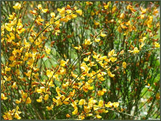 Genêt en fleurs à la Pisciculture des Sources à Laruns, Vallée d'Ossau (64)