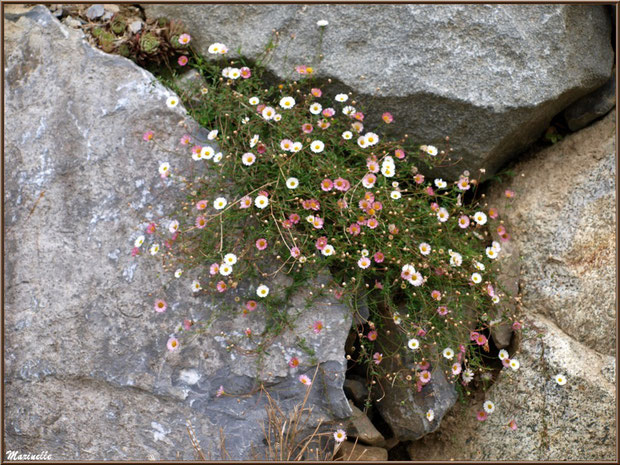 Fleurettes au creux des pierres en bordure de route au village d'Aas, Vallée d'Ossau (64)