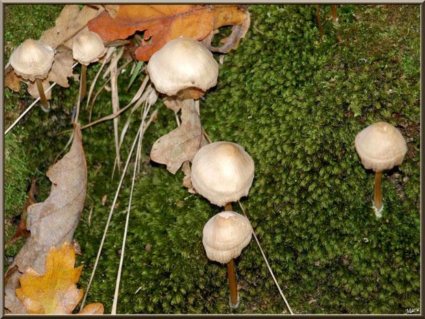 Mycènes sur lit moussu en forêt sur le Bassin d'Arcachon