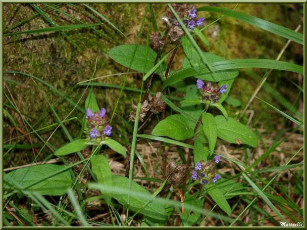 Brunelle Commune, flore sur le Bassin d'Arcachon (33)