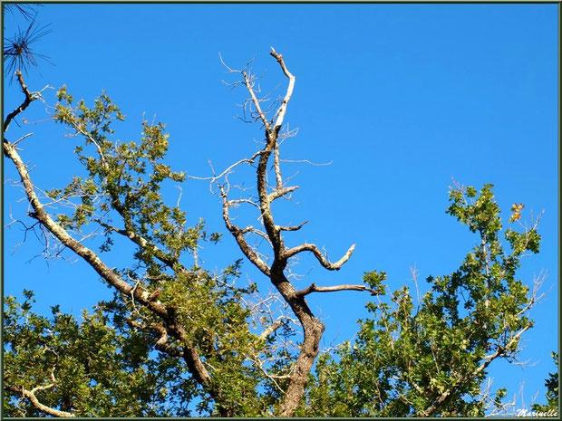 Vieux chêne hissé vers le ciel, forêt sur le Bassin d'Arcachon (33)