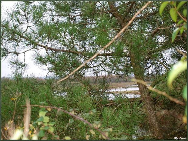 Végétation en bordure d'un réservoir sur le Sentier du Littoral, secteur Moulin de Cantarrane, Bassin d'Arcachon