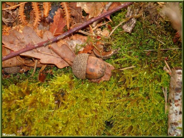 Feuilles de chêne, fougère, branche de roncier et gland sur tapis moussu automnal, forêt sur le Bassin d'Arcachon (33)