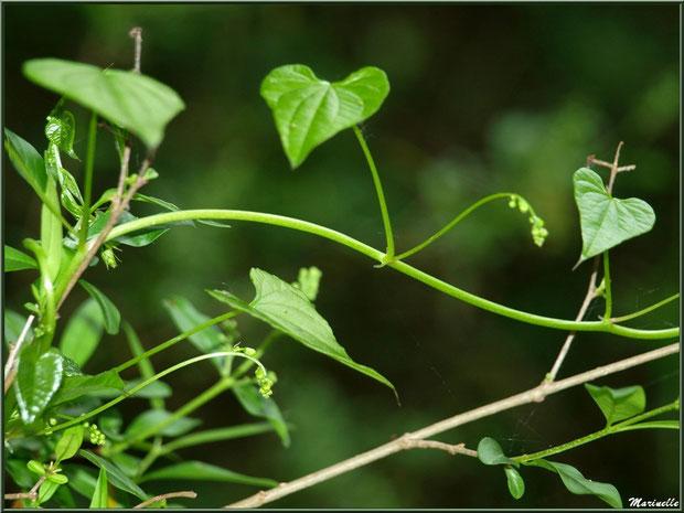 """Feuilles, pousses et fleurs en formation du Tamier ou """"raspounchou"""" ou Herbe aux femmes battues en fleurs, flore sur le Bassin d'Arcachon (33)"""